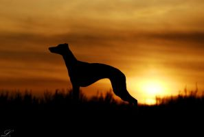 Whippet silhouette by laura75325