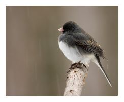 Junco by rscorp