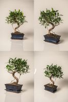 Bonsai Tree Stock by Sed-rah-Stock