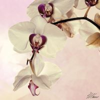 Orchids by NNarcissus