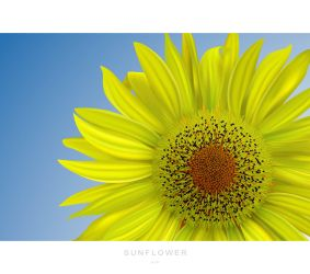 Sunflower by aip