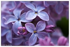The Lilac Files XV by butterfly36rs