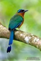 Blue-crowned Motmot by juddpatterson