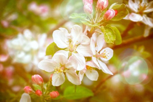 Springtime Apple Blossoms by bnspencer