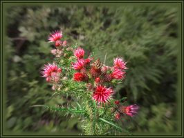 Thistle by aquifer