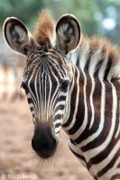 young zebra by Yair-Leibovich