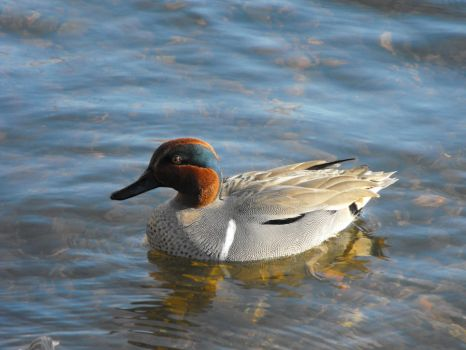 Green-winged Teal by whisper1314