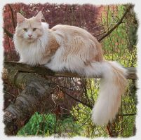 Maine Coon by TataGabby