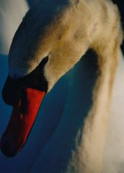 Swan at sunset by wingfinger