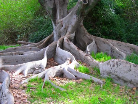 Old Tree Mounts Bay Rd Perth by abyss2213