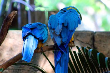 Blue and Yellow Macaw by Gabby572