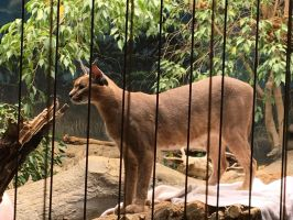 A CARACAL by OpaIescent