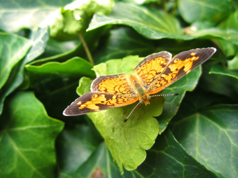 Pearl Crescent Butterfly by bluebell12