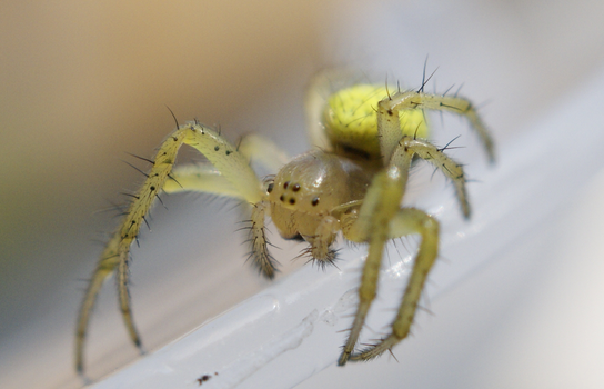Incy Wincy Spider by Khimaros