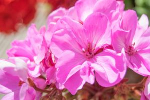 More Of The Geraniums by ianwh