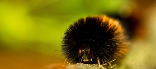 Wilbur The Woolly Bear by waves-of-illusion