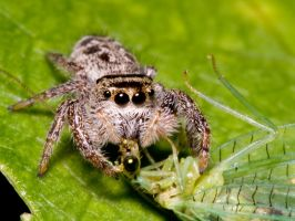 Jumping Spiders Don't Share 2 by Twitch1977