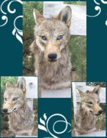 Blue Eyed Coyote by Tricksters-Taxidermy
