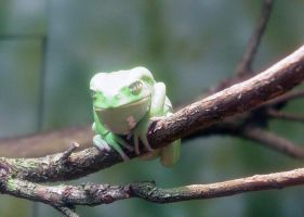 Waxy Monkey Frog 003 by Elluka-brendmer