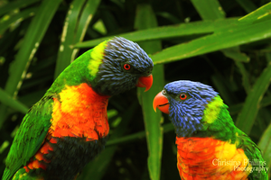 Rainbow Lorikeets-8281 by Christina-Phillips