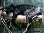 Black Leopard by FicktionPhotography