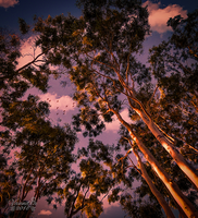 Gum Trees, Late Afternoon by vanndra