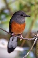 White-rumped Shama by CharlyJade