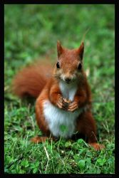 squirrel - portrait - by Gregsign