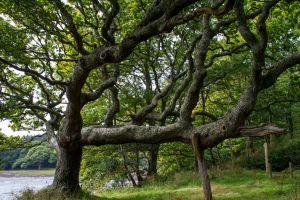 Twisted Oak Tree Stock.. by AledJonesDigitalArt