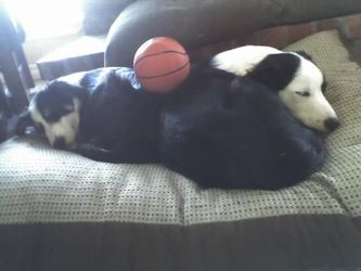 Two Border Collies and a Basketball by unionrox006
