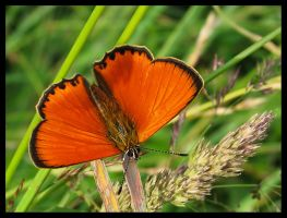 Male of Scarce copper by Pildik