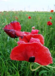 poppy field by Demenin