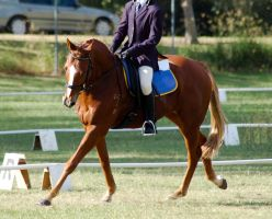 Flaxen chestnut dressage cante by Chunga-Stock