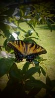 Tiger Swallowtail Butterfly by Faerie121