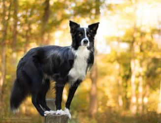 Border collie on a post by Qualisco