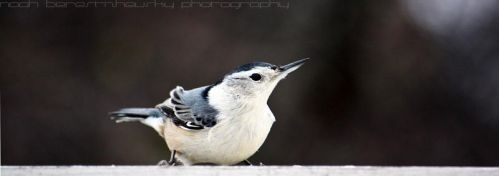 white-breasted nuthatch by noach-b