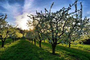 Orchard by waclawq