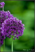 Allium by tleach0608