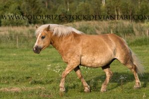 Haflinger Stock 1 by Colourize-Stock
