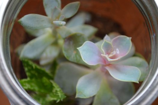 succulent. by Equide--Designs