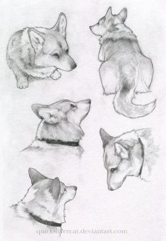 Corgi sketches by QuicksilverCat