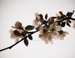 Apple Blossoms, Spring Photos, Nature Photography by 13cat-commander