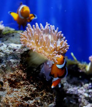 Clown fish by myeyesinthemirror