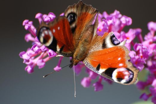 Butterfly 2 by Marina17