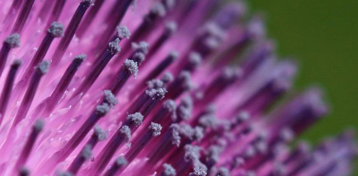 Thistle Tip by myekeh