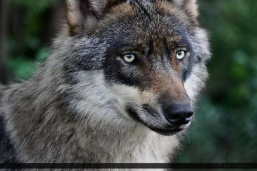 European Wolf 238 by Canisography
