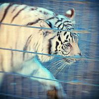 White Tiger by xXXxNightShadexXXx