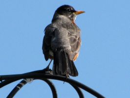 robin sat upon the wire by chrisravensar
