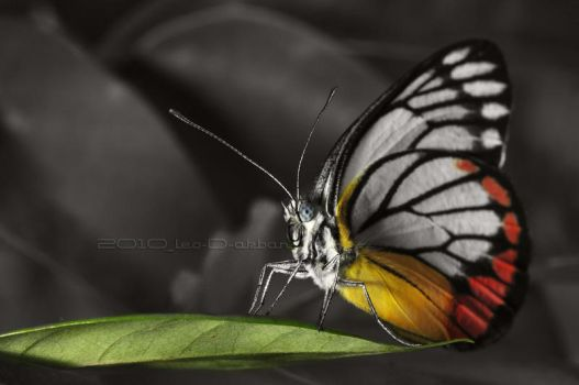 Butterfly by leodakbar