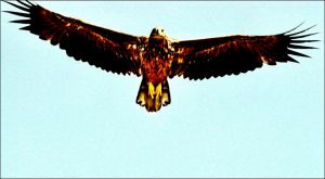 Eagle On Trapping Route In Archipelago by eskile